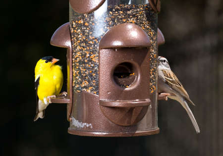 feeder: Bright yellow goldfinch eating from the opening in a modern bird feeder with very dark out of focus background