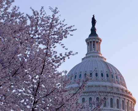 Brightly lit dawn sky behind the illuminated dome of the Capitol in Washington DC with Cherry Blossoms in the foreground photo