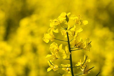 oilseed: Flowers of the oilseed rape plant recede into the distance Stock Photo
