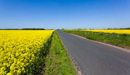 Flowers of the oilseed rape plant recede into the distance beside country lane photo