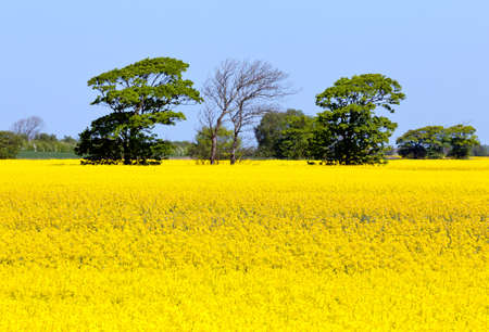 rapeoil: Flowers of the oilseed rape plant recede into the distance Stock Photo