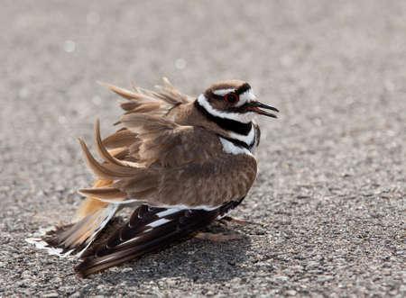 defensive posture: Aves de Charadrius vociferus depositan sus huevos en el suelo por el lado de las carreteras y mostrar una postura agresiva al barrio de cualquier animales peligrosos Foto de archivo