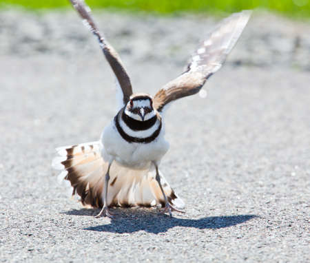 defensive posture: Killdeer birds lay their eggs on the ground by the side of roads and display an aggressive posture to ward of any dangerous animals