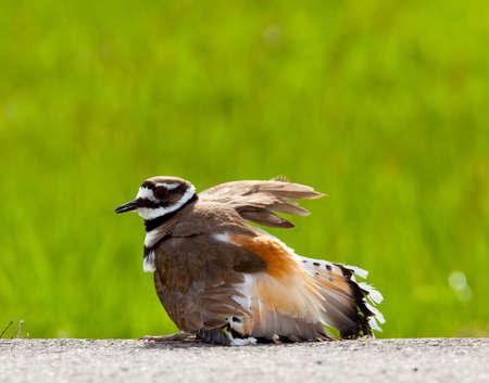 defensive posture: Las aves Charadrius vociferus depositan sus huevos en el suelo por el lado de las carreteras y mostrar una postura agresiva a ward de los animales peligrosos