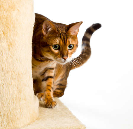 bengal: Golden colored bengal cat creeping around the side of wool covered climbing frame and peeping at the camera Stock Photo