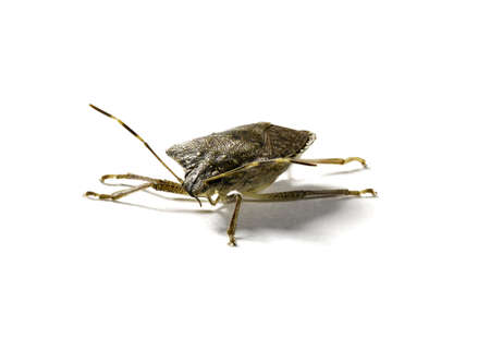 Front view of a stink bug or shield insect in macro image and isolated against white photo