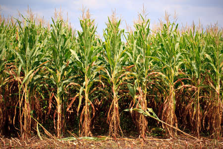 maize cultivation: Field of corn being harvested in the late summer