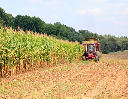 cornfield: Field of corn being harvested in the late summer