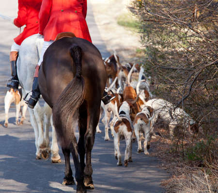 foxhunt: Dogs of the Middleburg Hunt after traditional December parade down main street of Middleburg, Virginia snapping at the legs of a horse