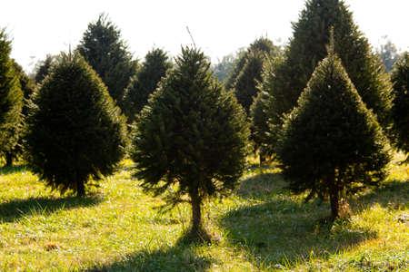 フレイザーのツリーとその他のバックライト付きクリスマス ツリー農園