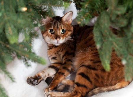 Bengal kitten sleeping under an xmas tree photo