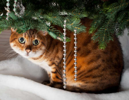 Bengal kitten sleeping under an xmas tree photo