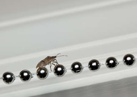 the stinking: Shield or stink bug walking along a row of silver christmas decoration inside home Stock Photo
