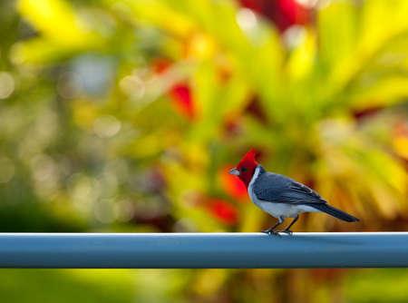 kilauea: Red crested or brazilian cardinal bird on fence in garden near Kilauea bird sanctuary in Kauai Stock Photo