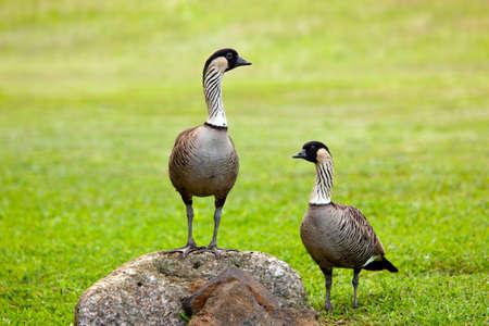 big island: Pair of rare nene geese birds on Kauai with one standing on rock