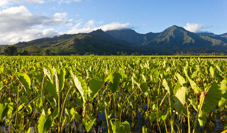 taro: Hanalei Valley on island of Kauai with focus on Taro plants