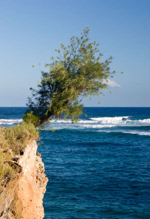 hardy: Single hardy tree clinging to cliff face overhanging the rough sea