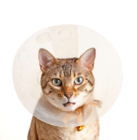 Bengal cat looking sad in neck collar to stop it licking a wound photo