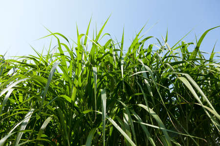 Miscanthus plants are grown in agriculture for biofuels, diesel and ethanol photo