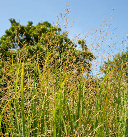 Switch grass is a source of cellulose and used for ethanol production and biofuels