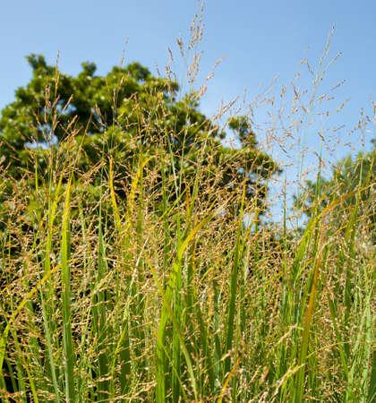 celulosa: Hierba Switch es una fuente de celulosa y se utiliza para la producci�n de etanol y biocombustibles