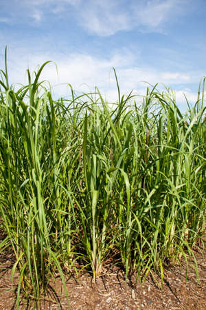 Sugarcane plants are grown in agriculture for biofuels, diesel and ethanol photo