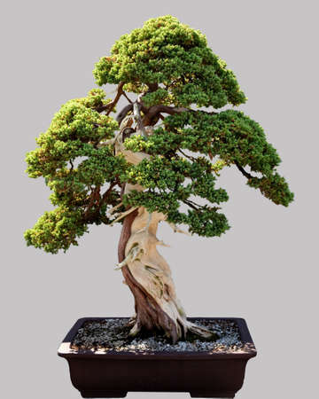 Miniature japanese bonsai tree isolated against grey and standing in small pot Banco de Imagens