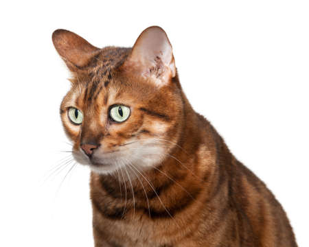 stunned: Bengal cat staring straight at camera with shocked or stunned expression Stock Photo