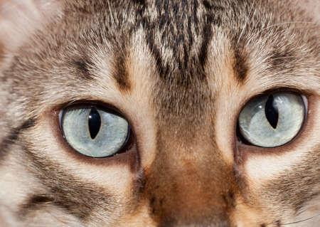 plaintive: Eyes of bengal cat staring at camera in macro close up