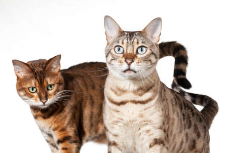 plaintive: Bengal cat staring straight at camera with another in background Stock Photo