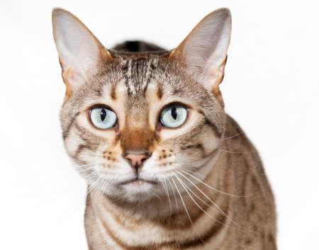animalitos tiernos: Gato de Bengala mirando directamente a cámara con expresión de sorpresa o asombro Foto de archivo