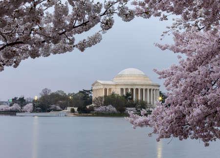 Cherry blossoms surround the Jefferson Memorial floodlit at dawn photo