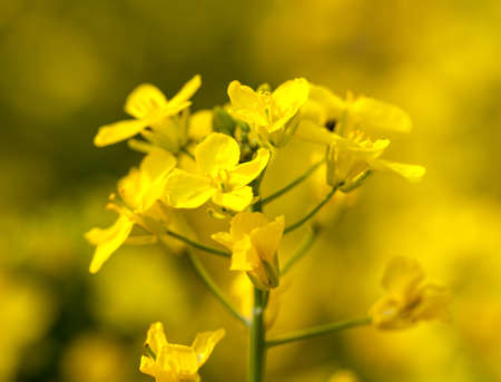 Close up of canola or rapeseed blossom used for alternative energy Stock Photo - 12929260