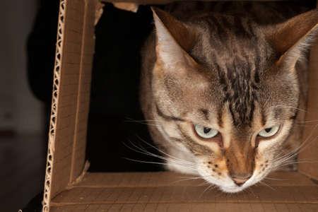 seeks: Bengal kitten seeking food and pushing its head through a cardboard box