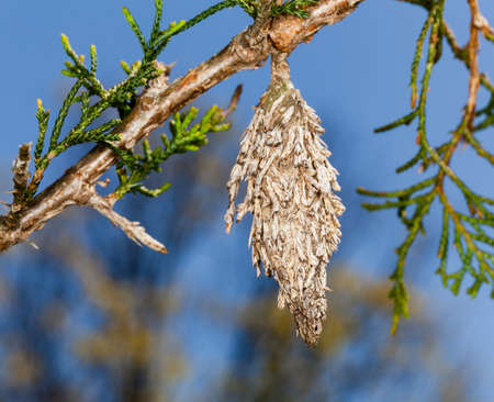 Macro image of bagworm hanging from the branch of pine tree Stock Photo - 13198077