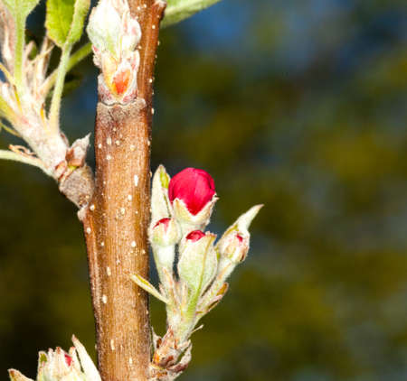 Flowers of apple blossom tree growing on small branch Stock Photo