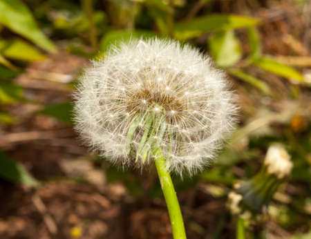 Macro image of the head of a dandelion with seeds photo