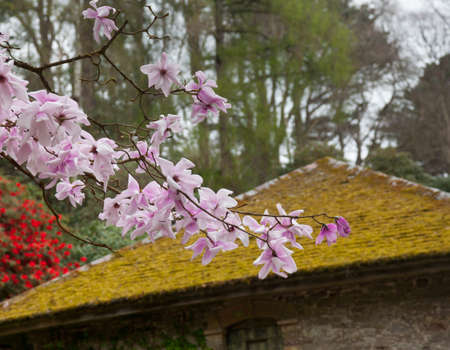 Flowers of the pink Magnolia Stellata shrub in front of old moss covered tile roof photo