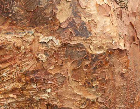 bark peeling from tree: Close up shot of peeling bark on tree trunk for texture and background