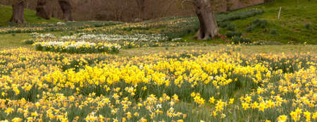 daffodil: Panorama of banks of daffodil flowers with distant trees