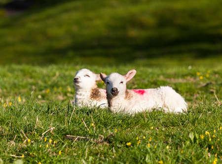 pasen schaap: Twee welsh lammeren met witte wol in een veld in de lente Stockfoto