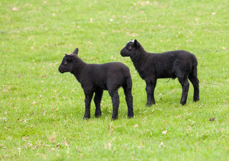 sheep eye: Two welsh lambs with black wool in a field in springtime