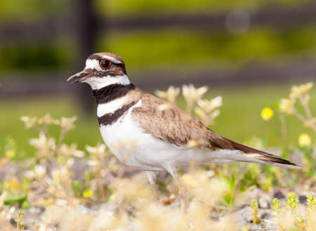 Close up shot of Killdeer bird at nesting time and defending its young with aggressive dance Stock Photo