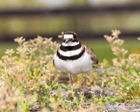 defensive posture: Close up shot of Killdeer bird at nesting time and defending its young with aggressive dance Stock Photo