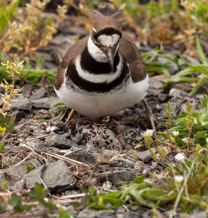 defensive posture: Close up shot of Killdeer bird at nesting time sitting with chicks and eggs on nest
