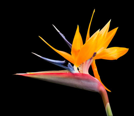 Cut out image of bird of paradise flower  photo