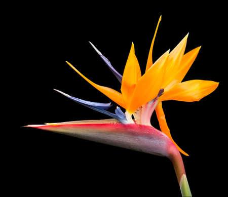 Knip beeld van de vogel van het paradijs bloem Stockfoto