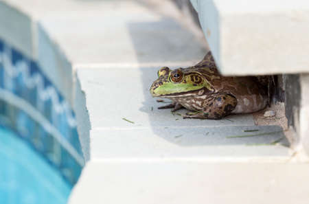 bullfrog: Large female bullfrog sitting in shade at edge of tiled swimming pool