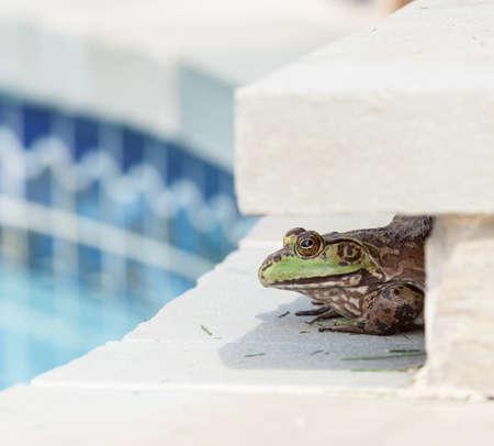 shadowed: Large female bullfrog sitting in shade at edge of tiled swimming pool