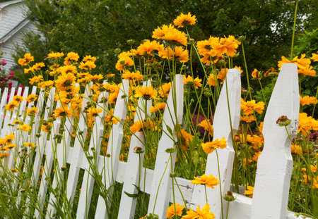 Yellow and red flowers growing along a white picket fence in traditional garden photo